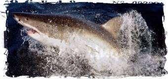 4,8 км и большая белая акула отделили пловца из США от рекорда